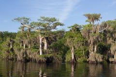 Zypresse-Bäume am blauen Cypress See in Indian River County Florida Lizenzfreie Stockfotos