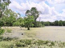 Zypresse-Bäume, die im nassen Sumpfland wachsen Lizenzfreies Stockfoto