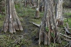 Zypresse-Bäume am Kirby storter Stockfotografie