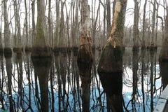 Zypresse-Bäume reflektieren sich auf Wasser Stockfotografie