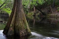Zypresse-Baum Stockfoto