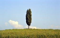 Zypresse-Baum in Toskana Lizenzfreie Stockfotos