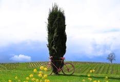 Zypresse-Baum und rosa Fahrrad Stockfoto