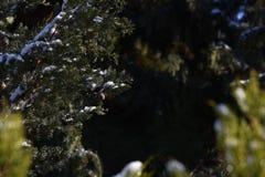 Zypresse-Baumkurzschlussfokus Stockbilder