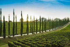 Zypresse-Gasse mit Weinberg in Toskana Lizenzfreie Stockfotos