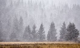 Zypresse-Hügel im Winter Stockbild