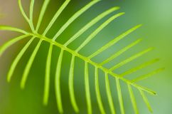 Zypresse-Rebe-Blatt Lizenzfreies Stockfoto