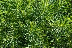 Zypresse Spurge (Euphorbiengummi cyparissias) lizenzfreie stockfotos