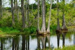Zypresse verblüfft das Haften aus dem Wasser im Sumpf heraus stockfotos