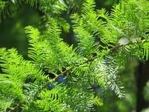 Zypresse-Zweig an einem Sommertag Stockfotografie