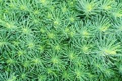 Zypressen-Wolfsmilch (Euphorbiengummi cyparissias) Lizenzfreie Stockfotos