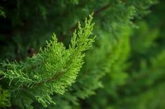 Zypressenbaumast in der Hecke im Garten stockfoto