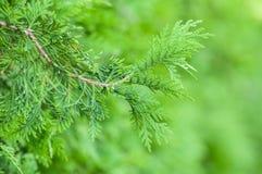 Zypressenbaumast in der Hecke im Garten lizenzfreies stockfoto