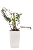 ZZ plant in a white ceramic flowerpot Royalty Free Stock Image