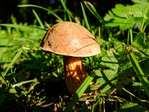 Élevage de boletus de champignon Photo stock