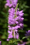‰ Do ¼ do heartï do ` s do leão do ˆVirginia do ¼ do virginianaï do Physostegia foto de stock
