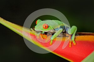 Red-eyed Tree Frog, Agalychnis callidryas, animal with big red eyes, in the nature habitat, Panama. Frog from Nicaragua. Beautiful