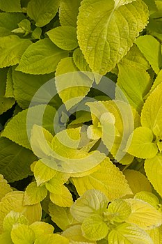 Plectranthus scutellarioides , lemon dash, compact low growing cultivar with golden green broad leaves.
