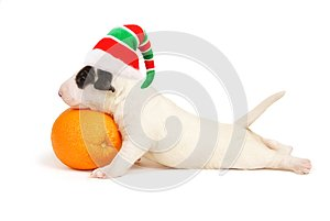 White Bull Terrier Puppy in a cap of the Xmas elf.