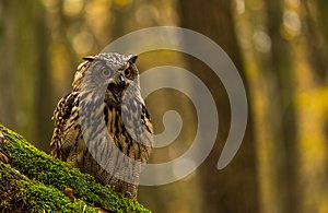 An eurasian eagle owl