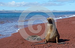 Galapagos sea lion with cub 2