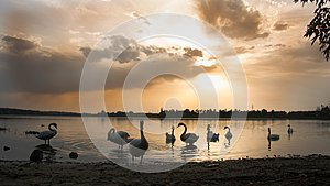 Swans on the lake at sunset