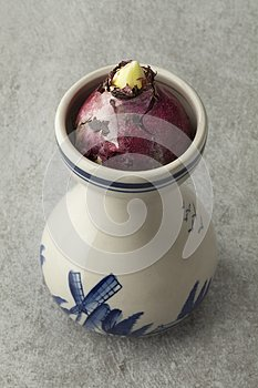 Hyacinth flower bulb growing in a traditional Dutch vase