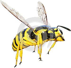 Wasp, Bee, Insect, Bug, Isolated