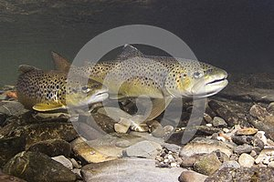Brown trout Salmo trutta preparing for spawning