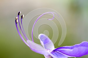 """Close up detail of purple blue flower `blue glory bower` or `blue butterfly bush"""""""