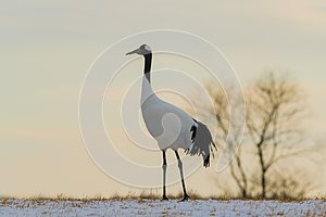 Red-crowned crane bird
