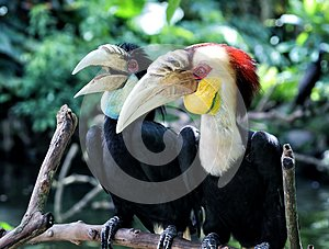 Couple of Calao or wreathed hornbills from Bali bird park Indonesia