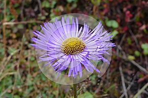 Purple aster flower in Namche Bazaar, Everest Base Camp trek, Nepal