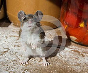 My hands are dirty. A flour encrusted wild house mouse caught among food containers in a kitchen cabinet.
