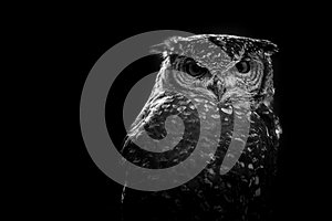 African owl black and white image