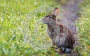 Adorable rabbit along the grassy trail in the morning dew