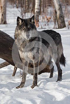 Black Phase Grey Wolf Canis lupus Stands in Front of Log
