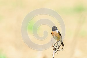 Stonechat Saxicola torquata - male sitting on dry grass