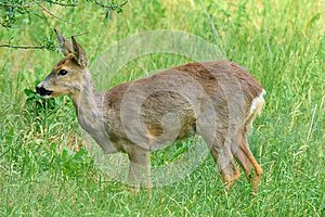 A lone roe deer standing in the grass