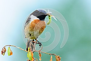 Stonechat with hatched dragonfly in the beak