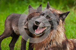 Black Phase Grey Wolf Canis lupus and Pup Head to Head
