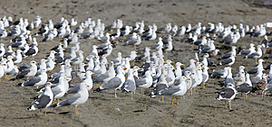 Large flock of seagulls on the beach all looking in the same direction except for one in the center.