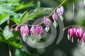 Dicentra spectabilis pink bleeding hearts on the branch, flowering plant in springtime garden