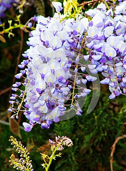 Close up of Wisteria `Blue Moon` in bloom. Cluster of blue flowers climbing and hanging over the fence.