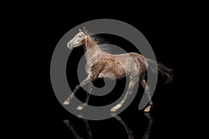 A beautiful gray horse galloping isolatet on black bsckground