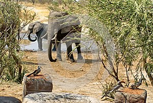 Southern yellow-billed hornbills and elephants