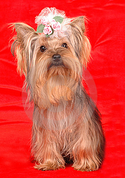 Yorkshire terrier sits on red background