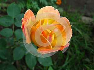 A vibrant yellowish orange rose in a garden