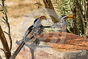 Southern yellow-billed hornbills at a feeder