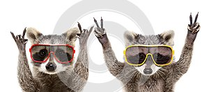 Portrait of a funny raccoons in sunglasses showing a gesture